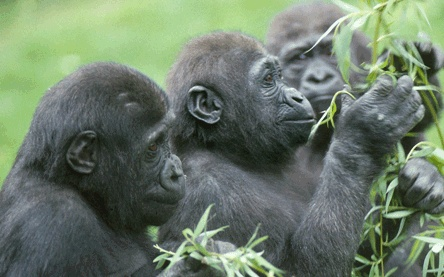 gorilla behavior essay - compare the gorillas behavior introductionsimilarities in observed behaviors between gorilla and humans can be explained by the anatomical and physiological make up of these two groups of primates.