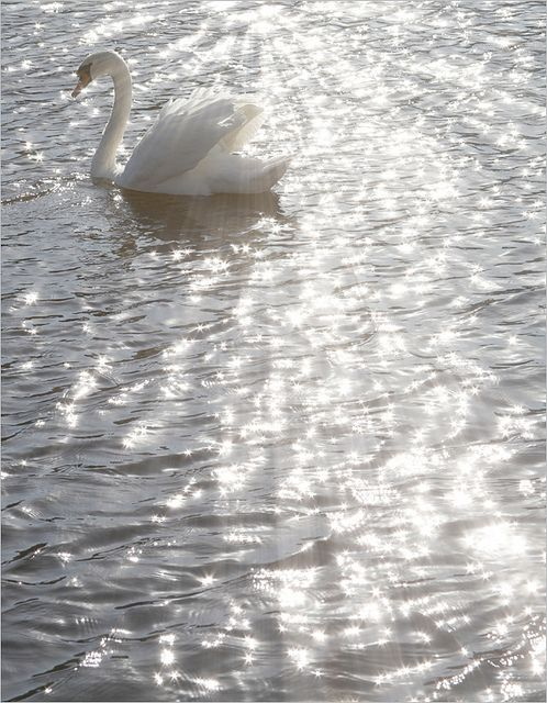 White Swan - Flickr - Photo Sharing!