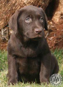 pictures of miniature labradors | mini labrador te koop