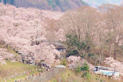 薄紅色の花が咲き誇る日本三大桜名所!高遠城址公園。お花見の際のポイントは   長野県   [たびねす] by Travel.jp