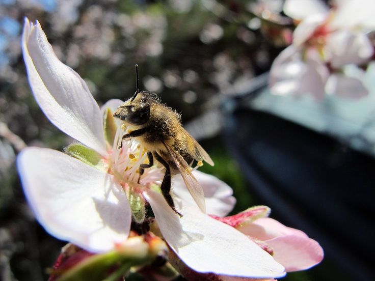 Are California Almonds Destroying the U.S. Bee Supply