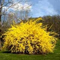 Lynwood Gold Forsythia - Hardy zones 4-8, fast growing shrub, golden flowers in spring