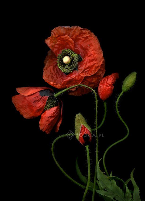 Plenty of Plants - Joanna Stoga Photohraphy, Poppy, flowers, plants, botanical Inspiration, floral, flowers, picture,