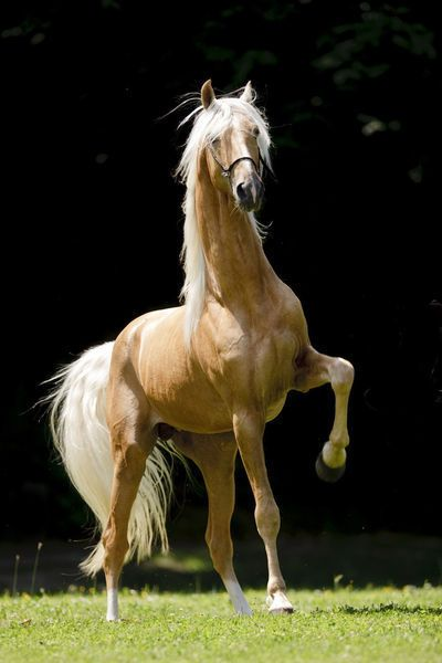 Beautiful palomino saddlebred