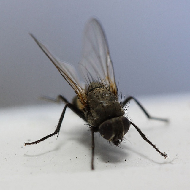 Flies. 40 best Flies images on Pinterest   Insects  Ants and Beautiful bugs