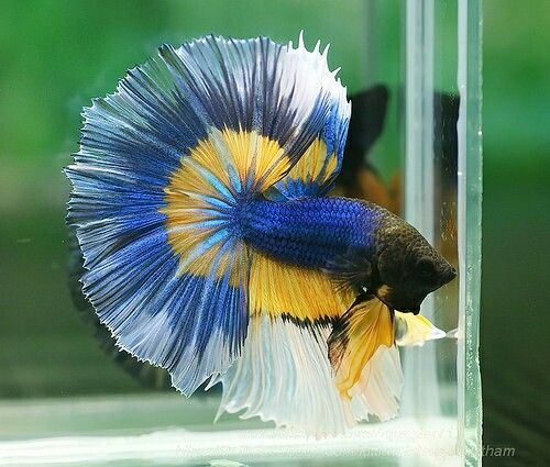 17 best images about beta fish on pinterest red and blue for Good betta fish names