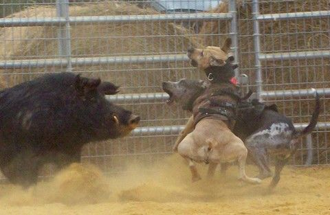 Hog Dogs baying a Hog.