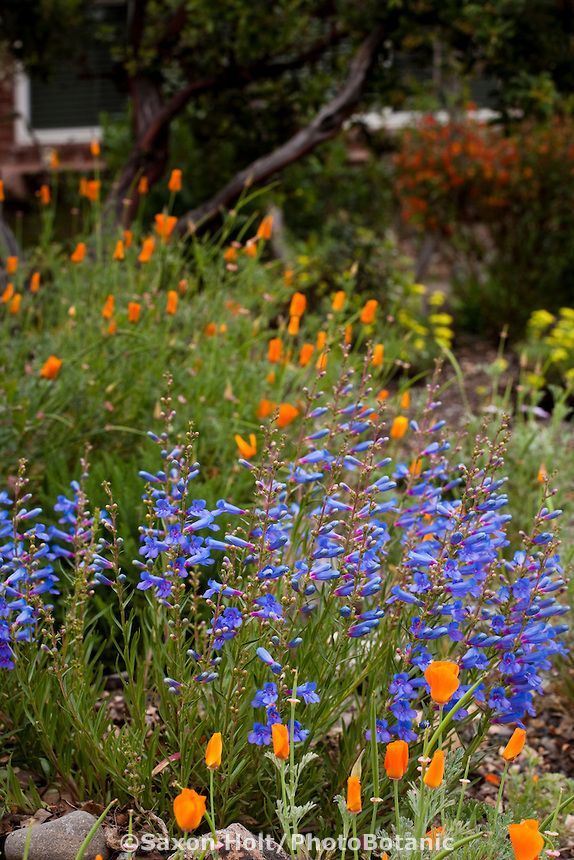 Penstemon heterophyllus (Blue Bedder) with orange poppies - California native plant (got it!)