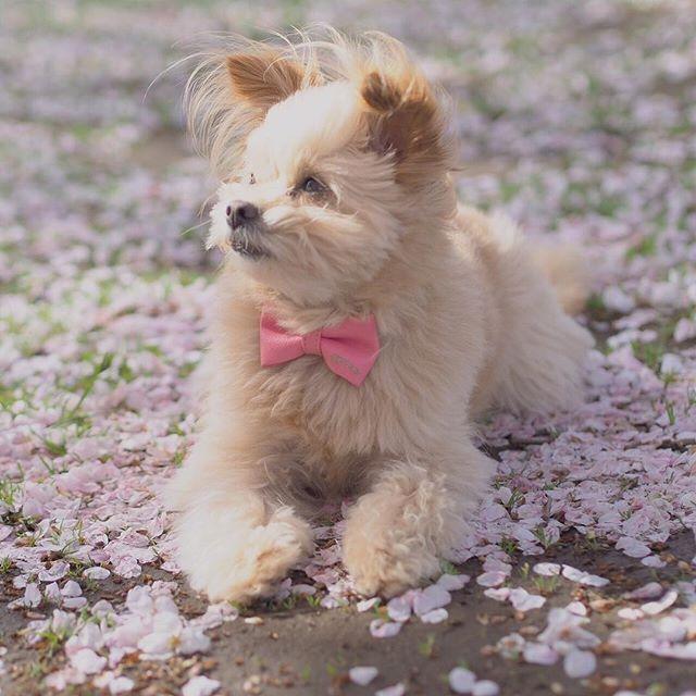 朝のお散歩🌸 ・ 桜🌸絨毯🌸綺麗〜🌸 素敵なpicは、#jubilee2011さん撮影です❣️✨ ありがとう〜💕🍀 ・ ・ #リヨン#ポメプー#ミックス犬#桜 #お花見 #お散歩 #愛犬 #モデル犬 #桜絨毯