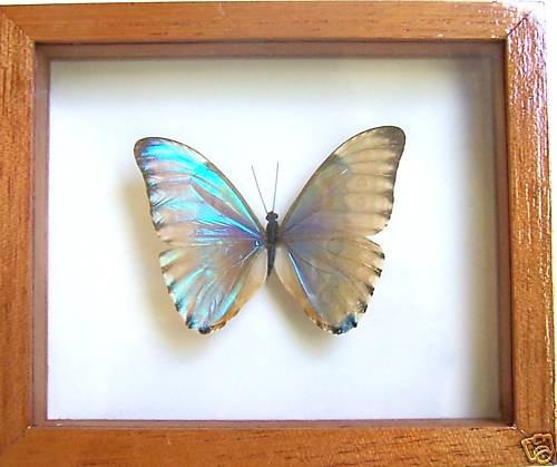 Real Morpho Aurora in Double Glass W00D Frame Blue Butterfly Peru