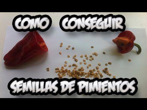 Como Conseguir Semilla De Pimiento || Semillas Ecologicas || La Huertina...