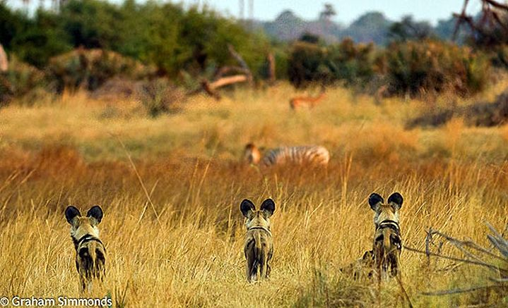 Wild Dogs arrive at Mombo 1