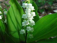 20 шт./пакет белая лилия долины ( Convallaria майский ) семена, Редких экзотических семена цветов(China (Mainland))