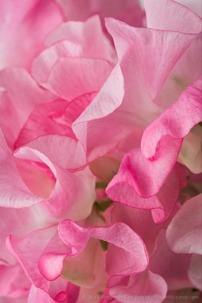 Pink Sweet Peas © 2016 Patty Hankins