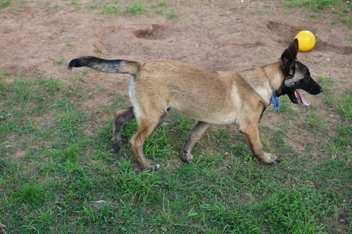 Belgian Malinois puppy for sale in NOBLE, OK. ADN-30309 on PuppyFinder.com Gender: Female. Age: 4 Months Old