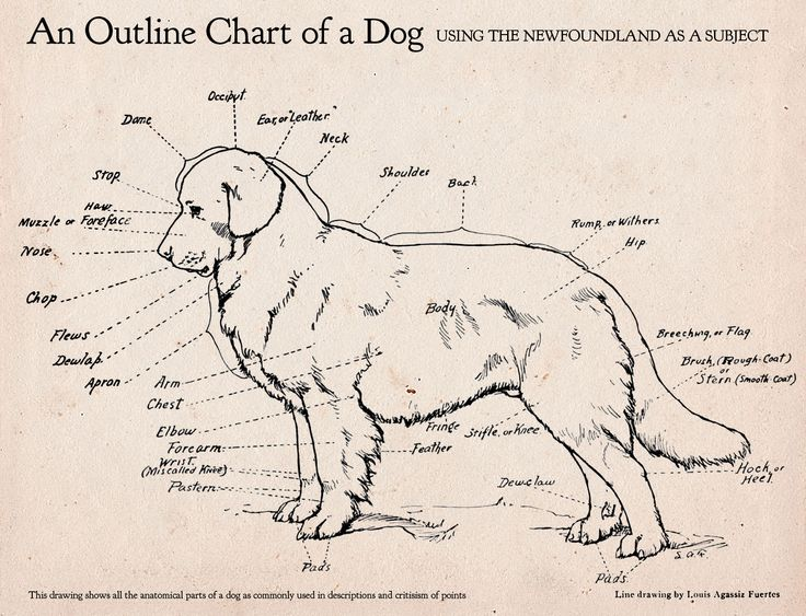 Dog Structure And Movement
