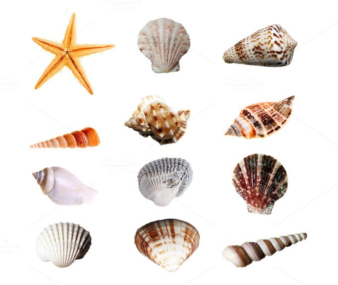 12 Isolated Sea Shells by Lucion Creative on Creative Market