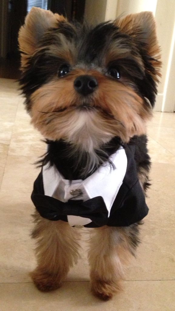 Mr is my toy Yorkie. Dressed for the Oscars