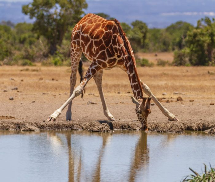 Discover The Rare Reticulated Giraffe In 2020 Giraffe African Wildlife African Animals