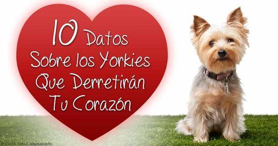 El Yorkshire Terrier es una de las razas de perros más populares en el mundo, y a pesar de su pequeño tamaño, los Yorkies tienen una gran personalidad.