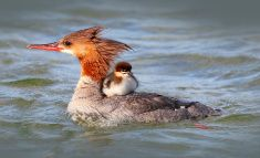 Storskrake Merganser Duck with baby duckling stock photo