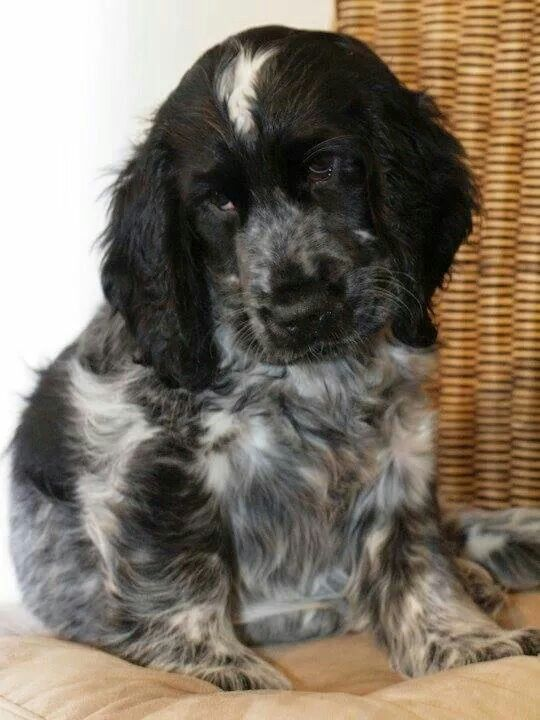 1000 Ideas About Blue Roan Cocker Spaniel On Pinterest