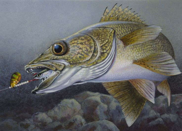 Walleye drawings painting of a walleye chasing a spinner for Fishing for walleye