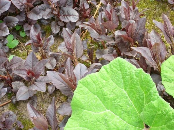 Вербейник может быть посажен под деревьями в саду и выполнять там роль наземного покрытия.