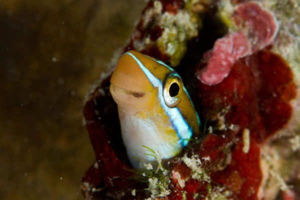 Los peces son y han sido desde siempre animales de agua. Pero eso podría cambiar. Un nuevo estudio ha demostrado que los depredadores han impulsado una evolución para sobrevivir en la tierra.Los Blennioidei son una especie de pez tropical de pequeño tamaño. Suelen encontrarse en las aguas tropicales cerca de Rarotonga, en las Islas Cook del océano Pacífico.Biólogos han registrado que cuatro especies de estos peces han desarrollado de forma...