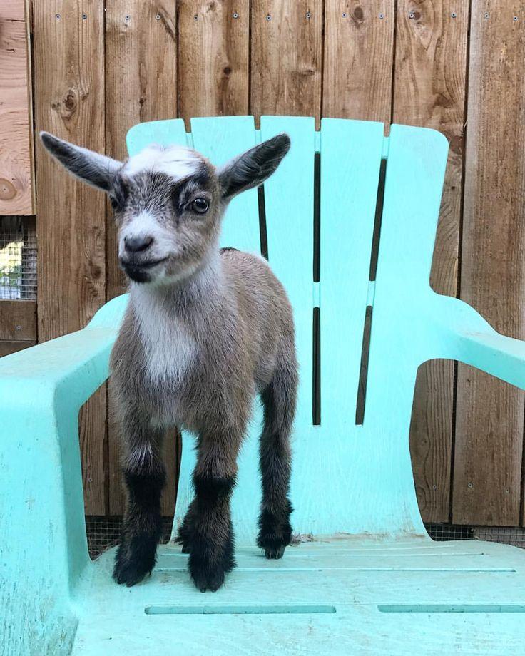 778 Best Goat Farm Images On Pinterest: 6156 Best Baby Goats Images On Pinterest