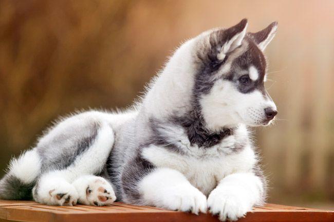 Siberian Husky Eine Rassenbeschreibung Husky Welpen Welpen