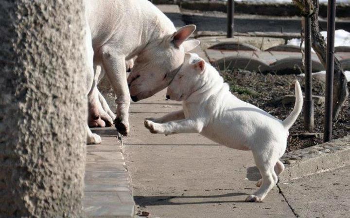 English bull terriers Rocks!!