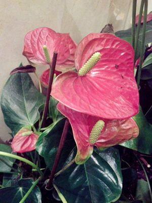 Bunga Anthurium Merah Muda