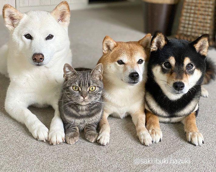 僕は犬だもん 3匹の柴犬に混ざる猫の姿がこちら Grape グレイプ 柴犬 可愛い 柴犬 可愛い犬