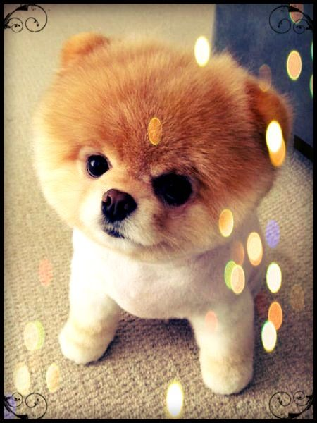 A Pomeranian lion cut. | Animals | Cute puppies, Cute dogs ...