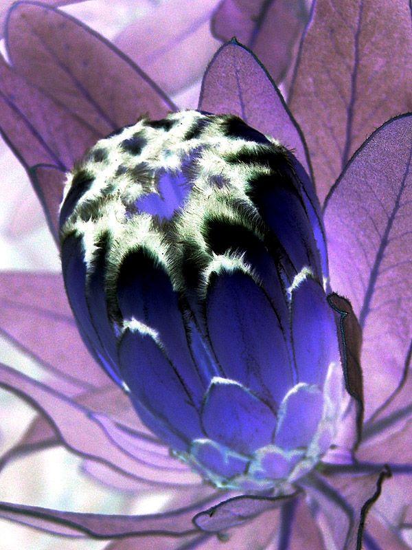 Protea