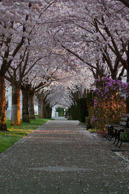 Cherry Blossoms on Willamette University's campus in Salem, Oregon.