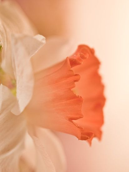 Peach Colored Daffodil - Lovely !! Bought some the other day!!! Cant wait to see them come up!