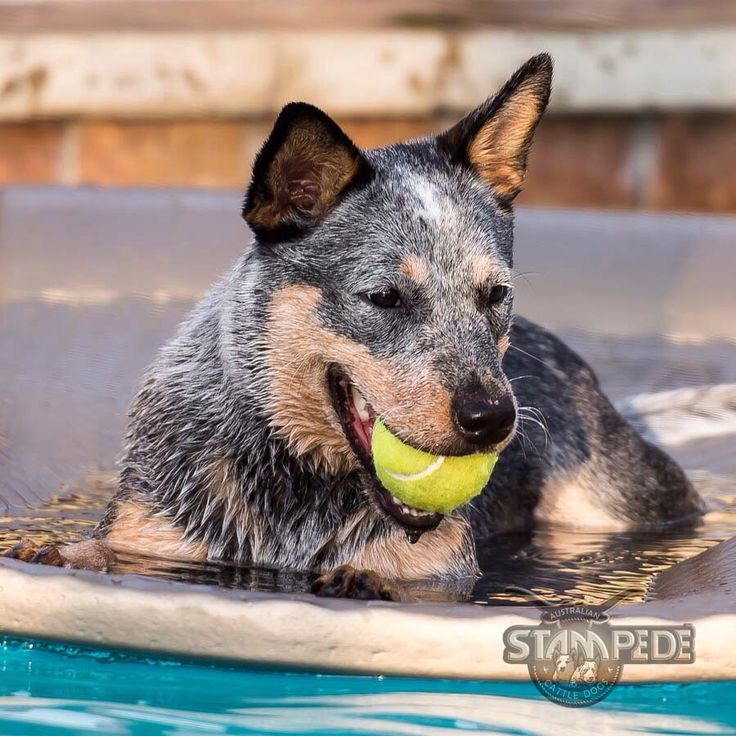 Australian Cattle Dog. We also like some time off to relax!!