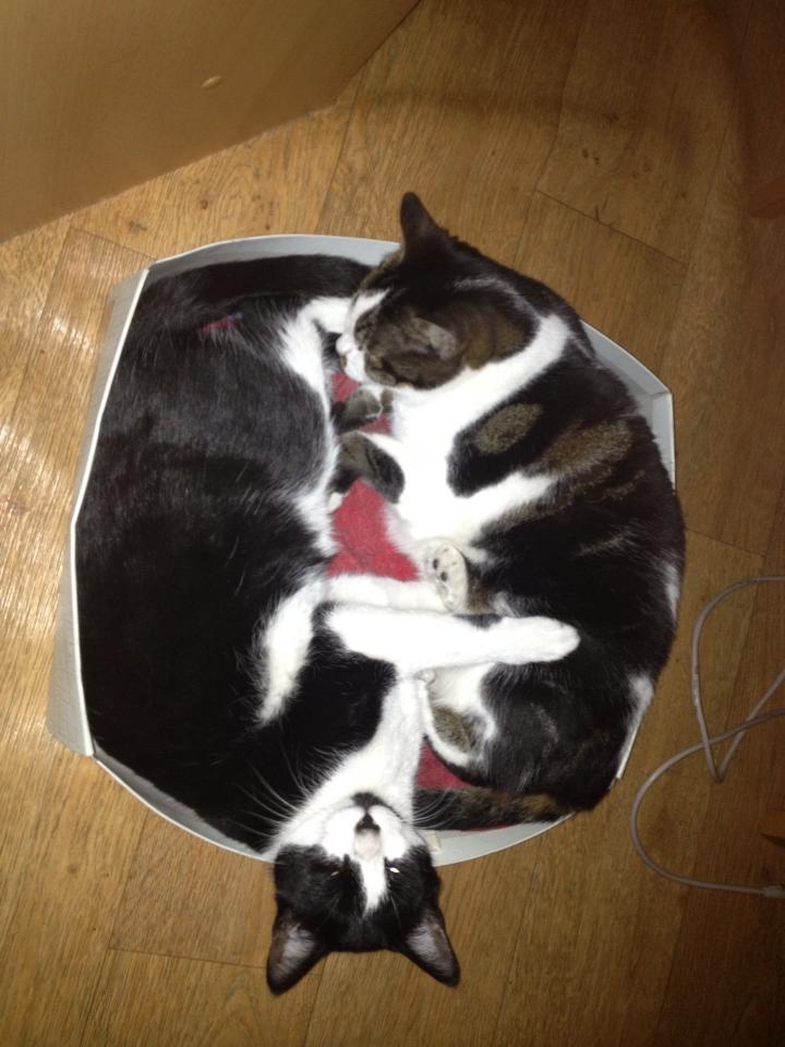 Twee huiskatten in doos