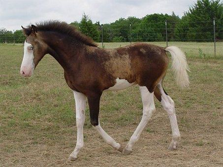 """Despite his markings might lead you to believe, """"Tiger"""" is actually a fully registered Morgan. He has Splashed white markings. This type of marking is very rare. It creates a very crisp line between the white markings and the horse's base color. It's almost like they were dipped in white paint. Tiger is also a buckskin."""