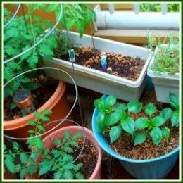 Even on a small, patio balcony, vegetables and herbs may find adequate light enough  to produce.