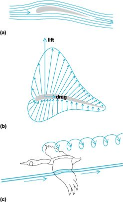 Aerodynamics of flight. (a) Airflow around a typical wing profile. (b) Pressure distribution around a typical wing profile. (c) The difference in pressure disappears toward the wingtips as trailing vortices in the wake. (After M. Brooke and T. Birkhead, eds., Cambridge Encyclopedia of Ornithology, Cambridge University Press, 1991)