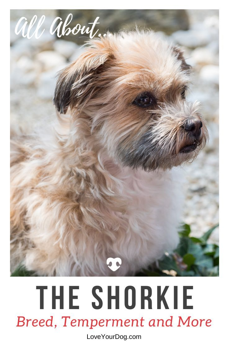 Shorkie Breed Information All About The Shih Tzu Yorkie Mix In 2020 Yorkie Mix Shorkie Puppies Yorkie
