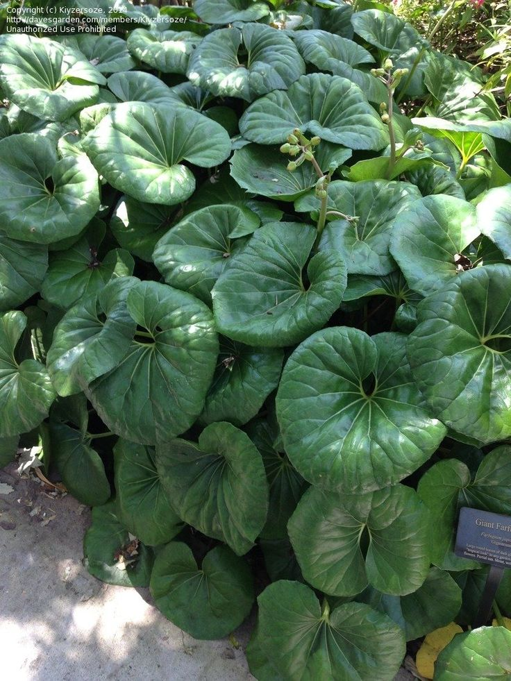 Giant Leopard Plant - cold hardy to zone 7. not drought tolerant needs evenly moist soil