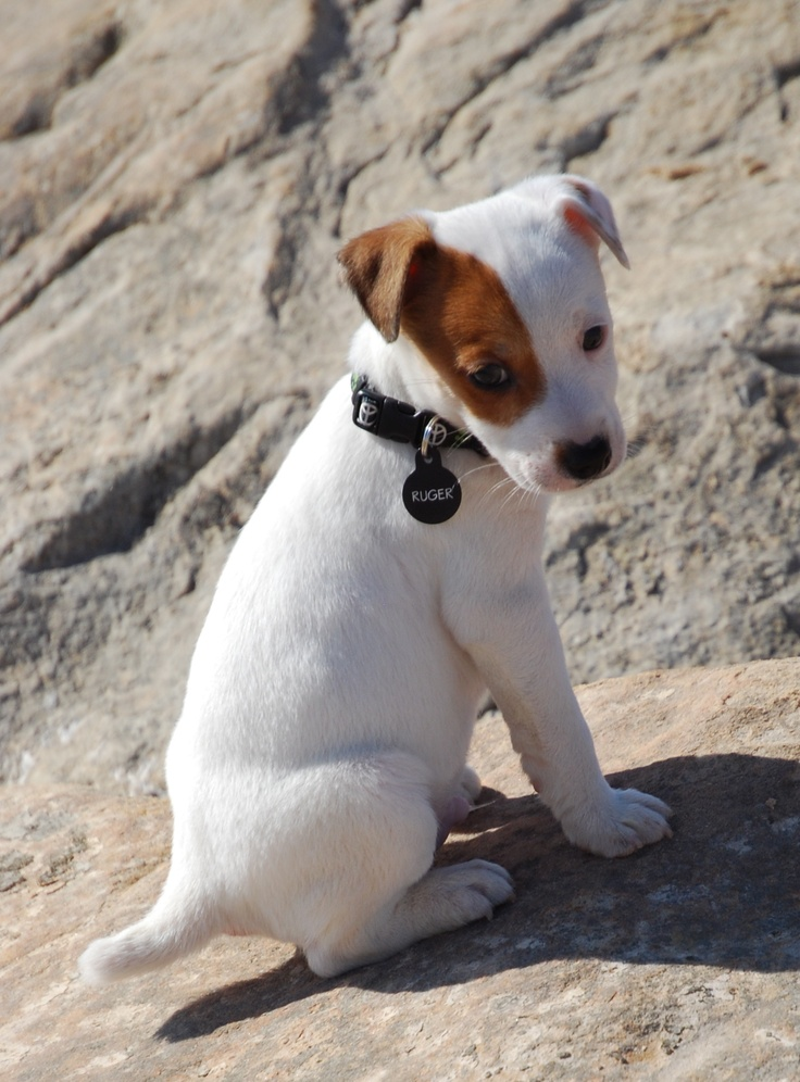 Jack Russell Terrier pup.