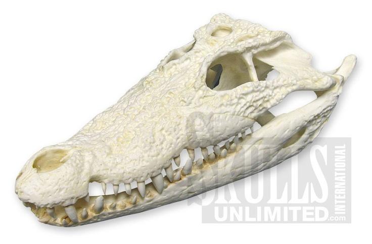 WTQ-371: Mugger Crocodile Skull (Teaching Quality Replica)
