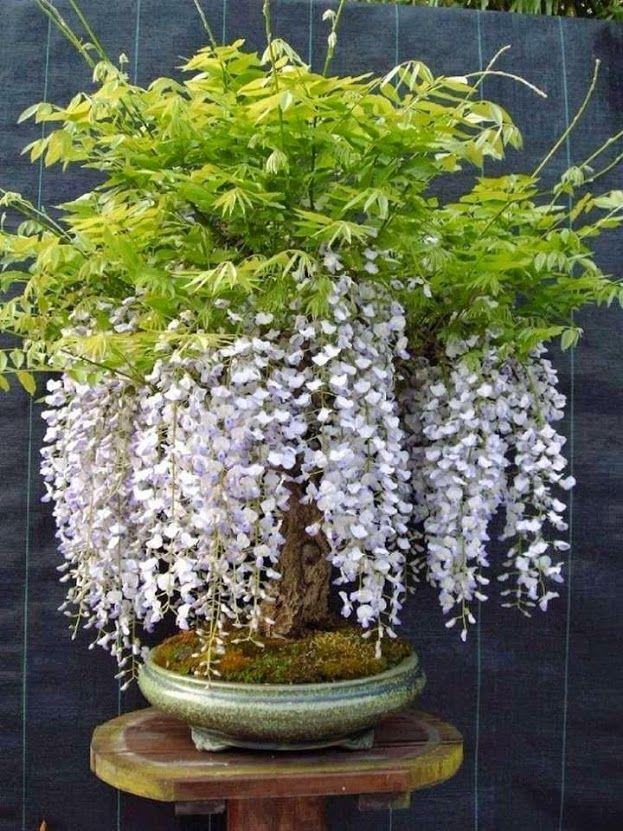 574 best images about bonsai on pinterest bonsai trees for Most expensive bonsai tree ever