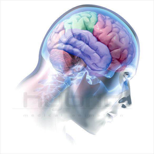 brain | brain, brain lobes, neurology