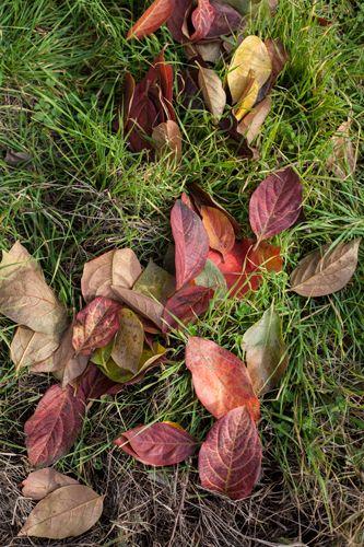 foglie di cachi